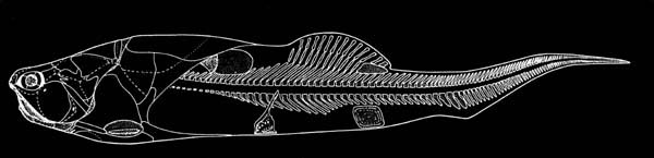 Coccosteus fossil