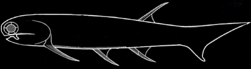 Mesacanthus fossil shark