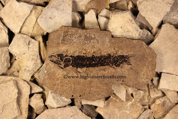 Osteolepis panderi buy fossil fish