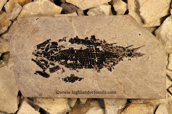 Osteolepis panderi buy fossil fish