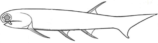 Mesacanthus pusillus drawn