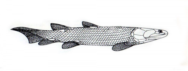 Osteolepis panderi drawn