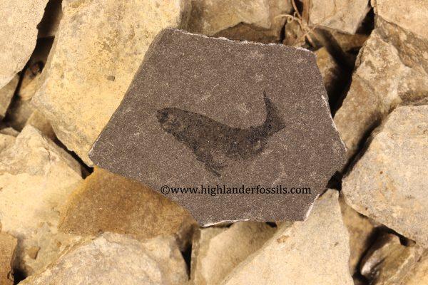 Mesacanthus pusillus buy fossil fish