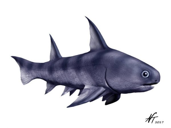diplacanthus fossil spiny shark acanthodian