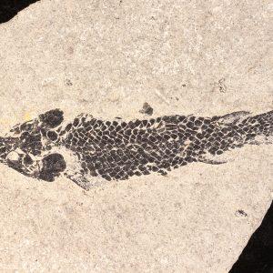 Fossil fish Osteolepis panderi tetrapod ancestor
