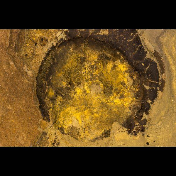 fossil fish ateleaspis tessellata scotland