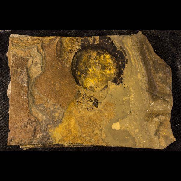 fossil fish ateleaspis tessellata b