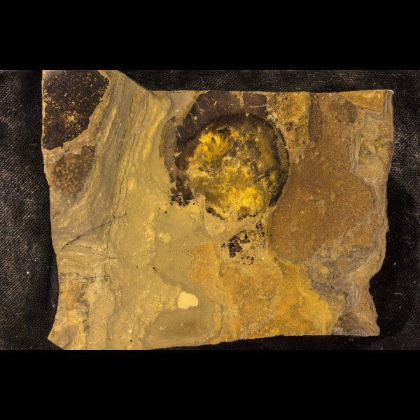fossil fish ateleaspis tessellata a
