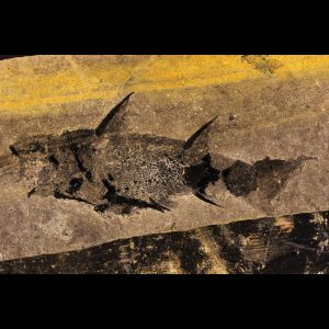 Acanthodian fossil Diplacanthus spiny shark