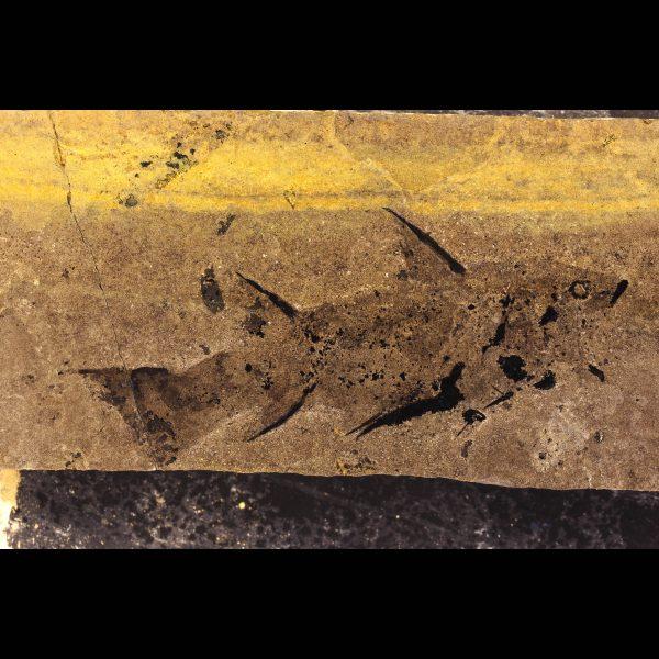 Diplacanthus crassisimus acanthodian spiny shark