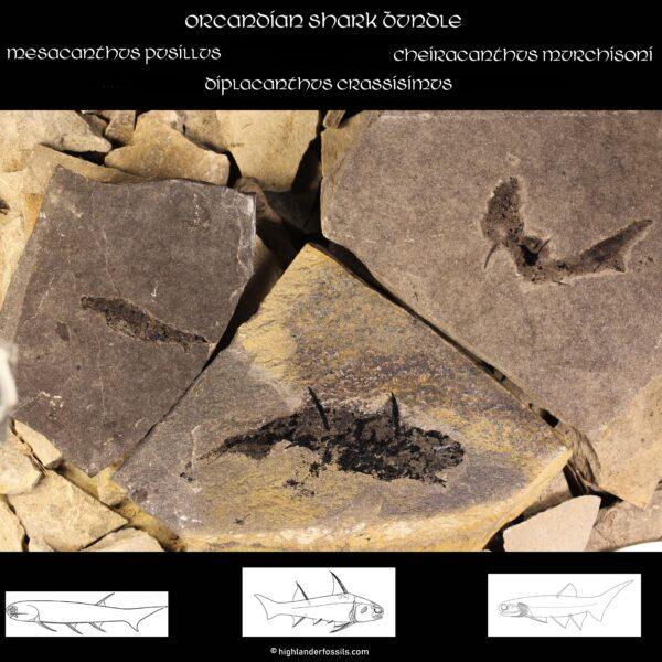 Spiny Shark Fossil Bundle Devonian Acanthodian