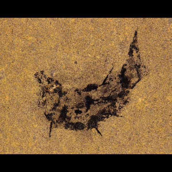 acanthodian mesacanthus pusillus devonian fossil