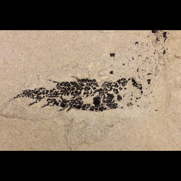 devonian tetrapodomorpha Osteolepis panderi fossil fish