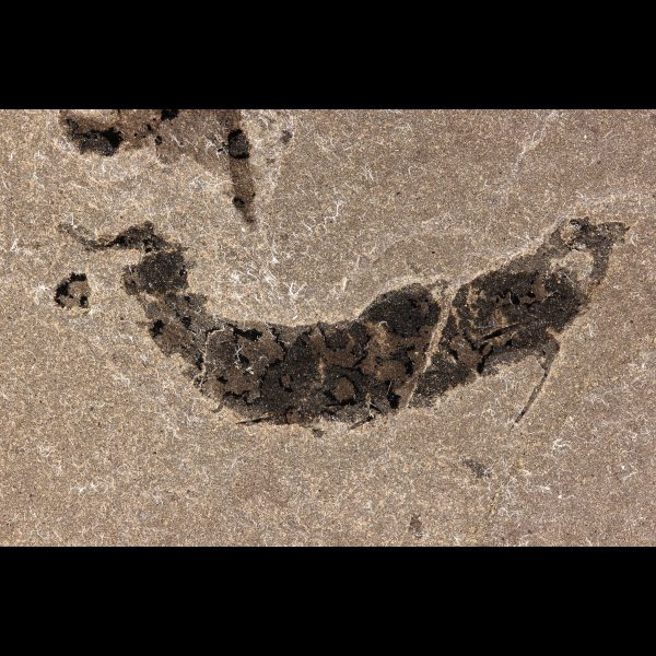 mesacanthus pusillus devonian fossil fish acanthodian