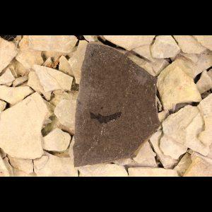 Devonian shark fossil mesacanthus pusillus