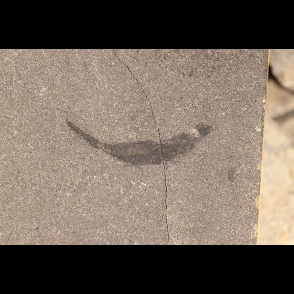 Shark fossils mesacanthus pusillus acanthodian