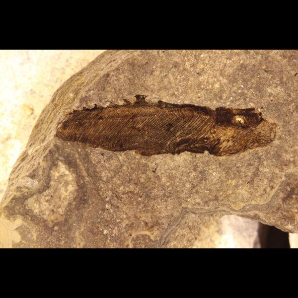 Silurian anaspid Birkenia elegans fossil