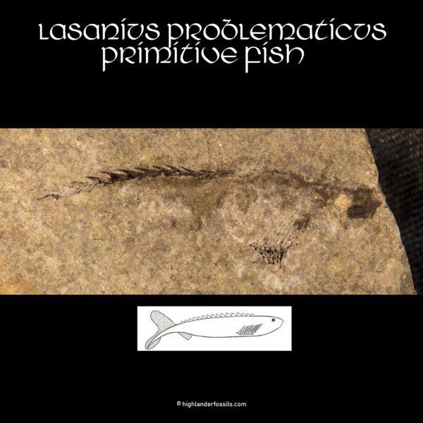 anaspid fossil