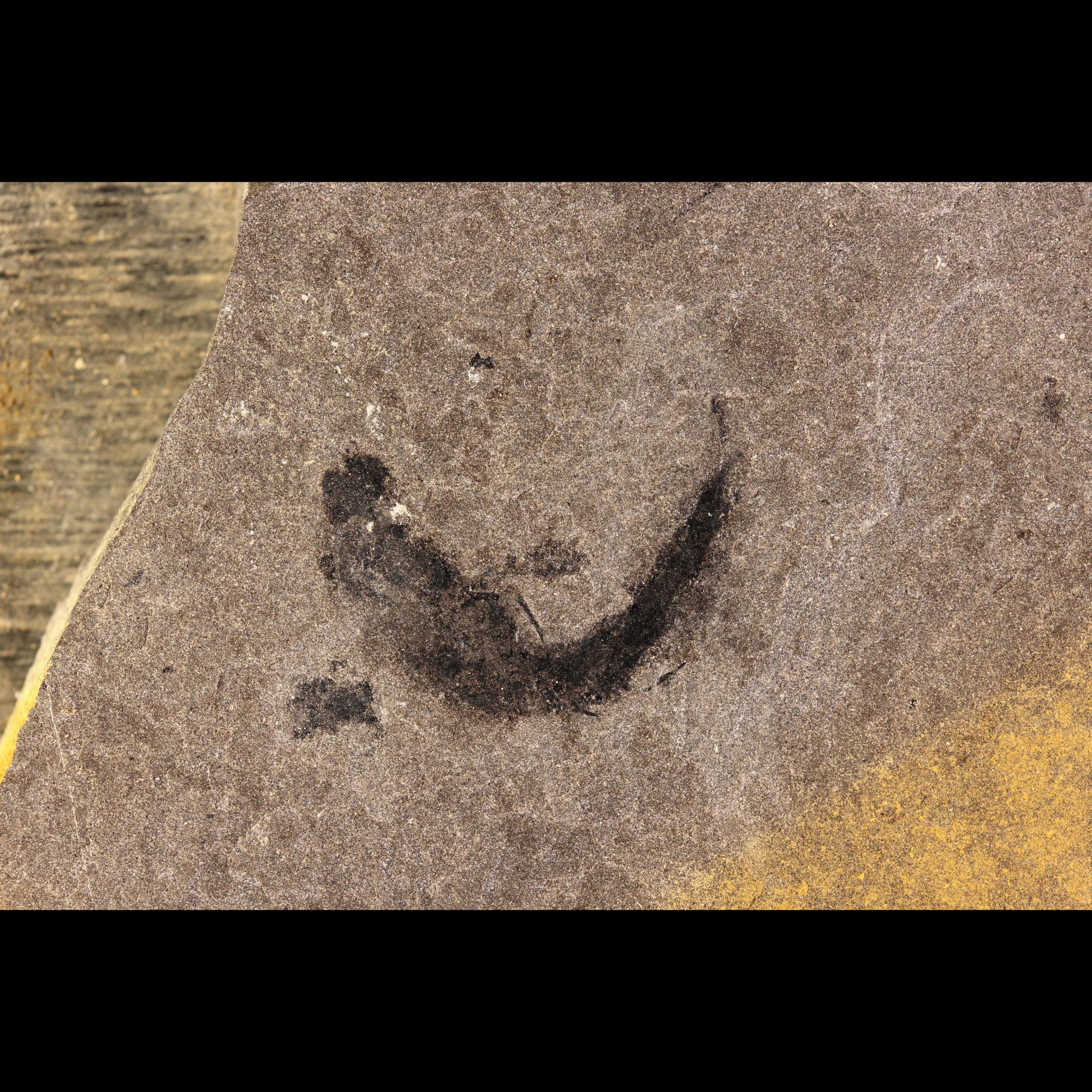shark fossil mesacanthus pusillus