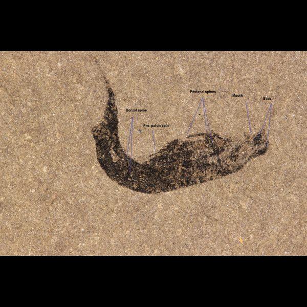 mesacanthus pusillus spiny shark