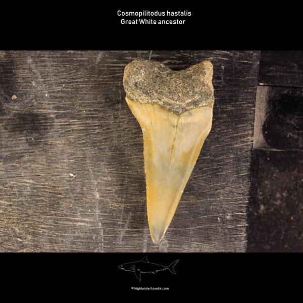 Belgian cosmopolitodus hastalis shark
