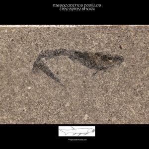 Buy acanthodian fossil mesacanthus pusillus