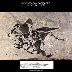 Coccosteus-cuspidatus-Placoderm-Head