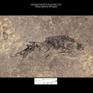 Devonian sharks mesacanthus pusillus fossil