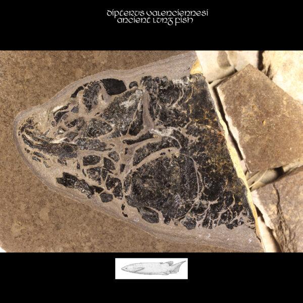 Dipterus valenciennesi ancient lung fish