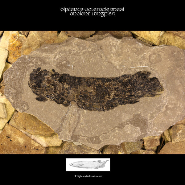 Fossil-fish-Dipterus-valenciennesi-Ancient-Lungfish