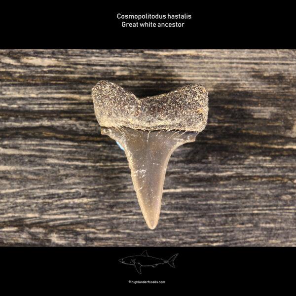 Isurus hastalis shark tooth
