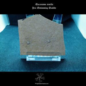 Saccocoma tenella free swimming sealily