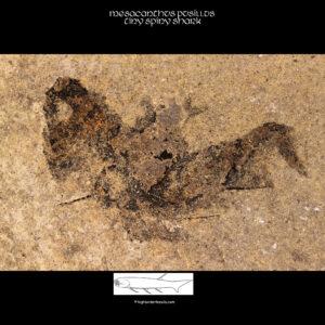 Schottischer fossiler Hai mesacanthus pusillus