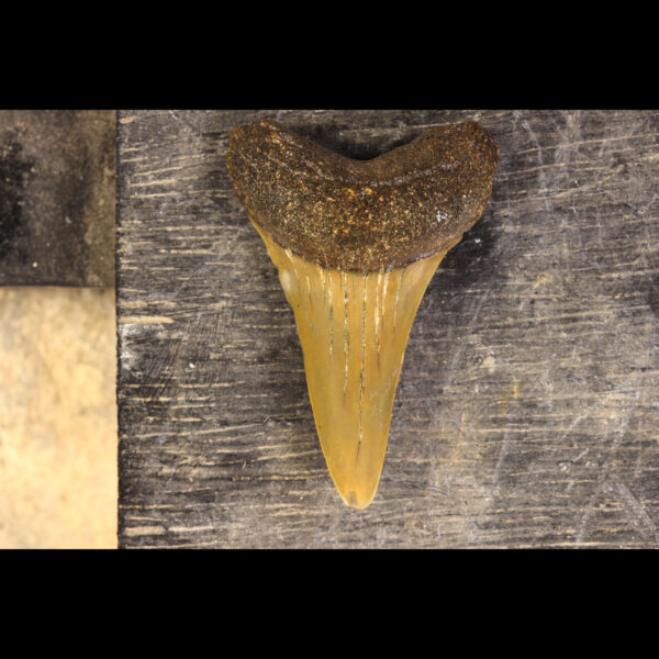 Shark teeth hastalis