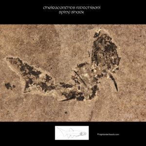 cheiracanthus murchisoni fossil shark devonian