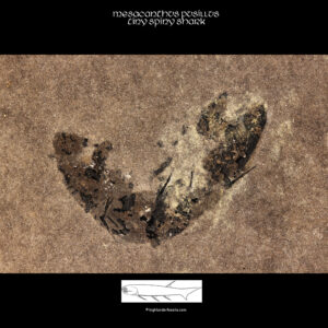 complete shark fossil mesacanthus pusillus
