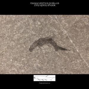 devonischer fossiler Hai mesacanthus pusillus fossil_