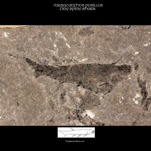 Orcadian fossil for sale Mesacanthus pusillus Acanthodian Fish