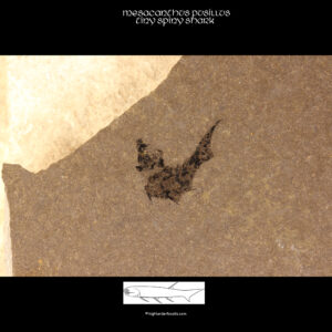 for sale mesacanthus pusillus fossil