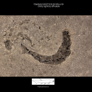 Orcadian fossil