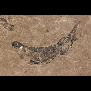 scottish fossil shark devonian mesacanthus pusillus