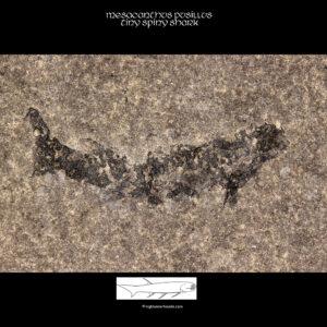 fossiler Schottischer Hai Mesacanthus pusillus fossil