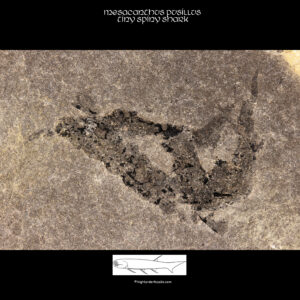 fossilized shark mesacanthus pusillus