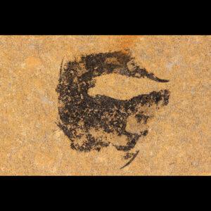 mesacanthus pusillus Scottish devonian fossil shark