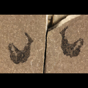 mesacanthus pusillus fossil fish for sale