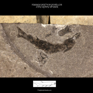mesacanthus pusillus fossil shark for sale