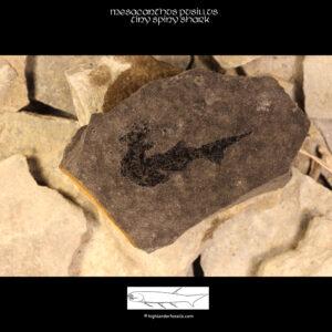 mesacanthus pusillus fossil shark_0543