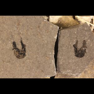 mesacanthus pusillus fossil sharks