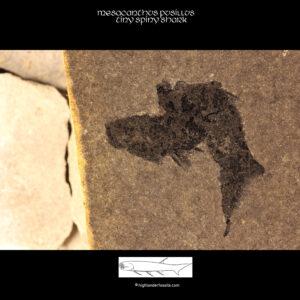 buy acathodian fossil