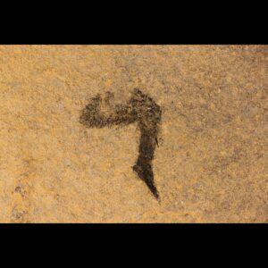 mesacanthus pusillus Scottish devonian fossil
